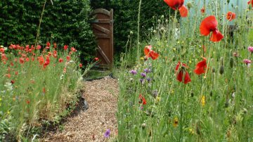 A garden scene with some poppy
