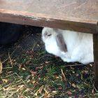 Rabbit at the farm