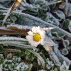 daisy in ice