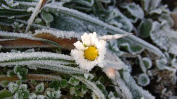daisy in ice