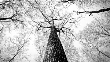 looking up the trunk of a bare tree