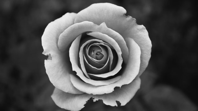 black and white photo of a rose