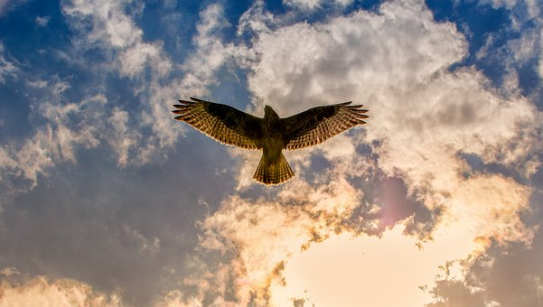 Buzzard hovering in the sky