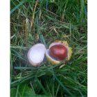 opened conker lying on the wet grass
