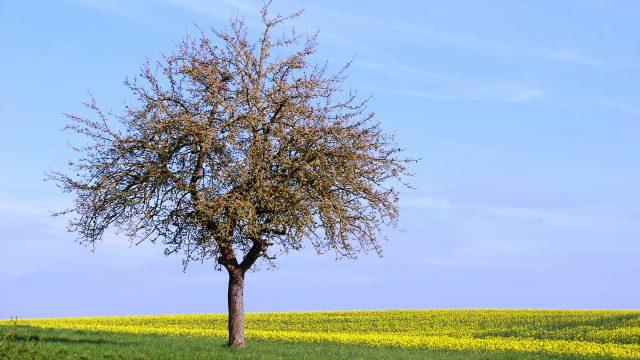 Tree in springtime