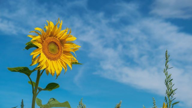 Sunflower with head held high