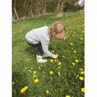 Little boy picking dandelions